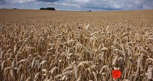 amp de blat a punt de segar