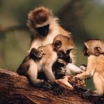 Familia de monos vervet